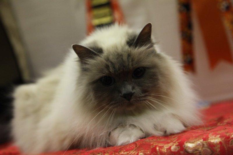 2010-calgary-cat-show-223