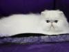 2010-calgary-cat-show-151