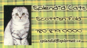 splendid_scottish_fold